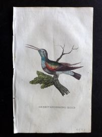 Brightly 1815 Antique Hand Col Bird Print. Green Hummingbird.